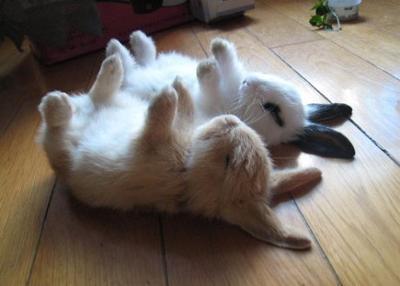 面白画像 すやすや! 2匹の赤ちゃんうさぎの寝相が同じ格好でかわいすぎます(笑)animal_00001