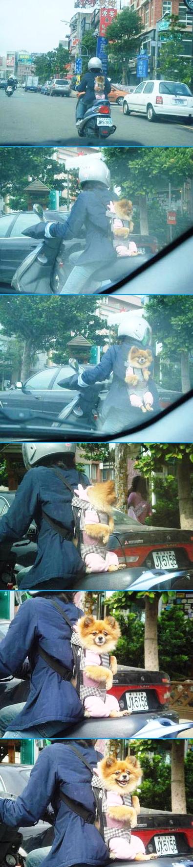 【犬おもしろ画像】ニヤリ! 車運転中、原付に乗っている人の背中にいたポメラリアンと目が合う(笑)animal_0003