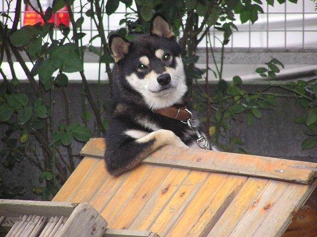 面白画像 表情が物語る! 「親分肌」の犬ってこんな感じでしょうか(笑)animal_0007