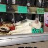 営業妨害! お蕎麦屋のショーケースで昼寝する白猫が気持ちよさそう(笑)