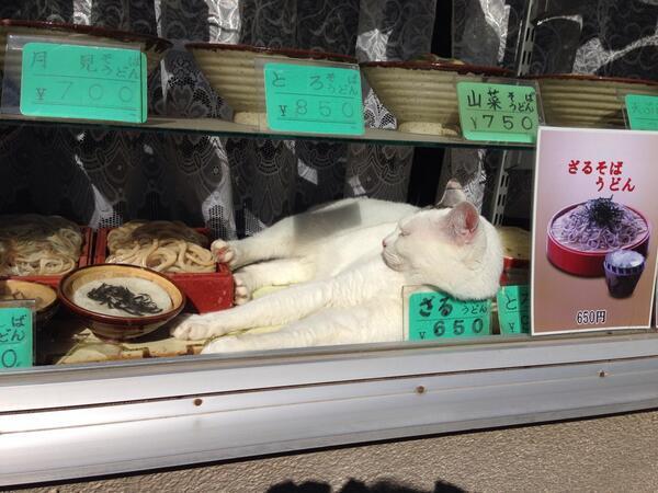 面白画像 営業妨害! お蕎麦屋のショーケースで昼寝する白猫が気持ちよさそう(笑)animal_0008