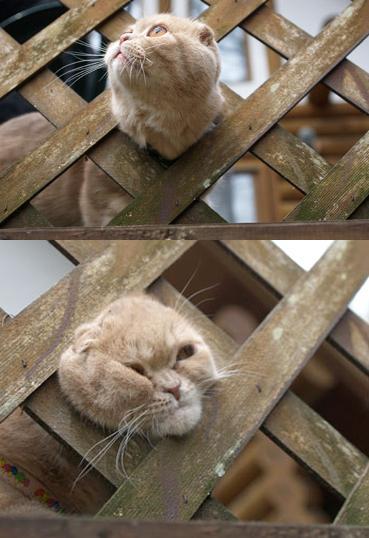 面白画像 抜けない! 外の景色を見たくて柵から顔を出した猫(笑)animal_0015