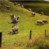 自由奔放! 牧羊犬がヒツジの背中を跳び箱変わりにして遊んでいて自由すぎ(笑)
