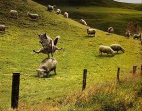 面白画像 自由奔放! 牧羊犬がヒツジの背中を跳び箱変わりにして遊んでいて自由すぎ(笑)animal_0016
