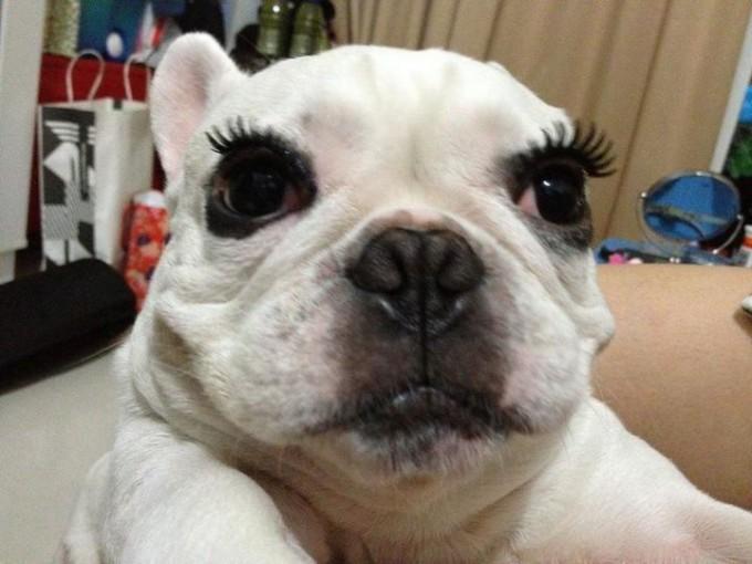 【おもしろ画像】犬でも可愛くなりたい! アイメイクをしたパグがかわいすぎます(笑)beauty_0016