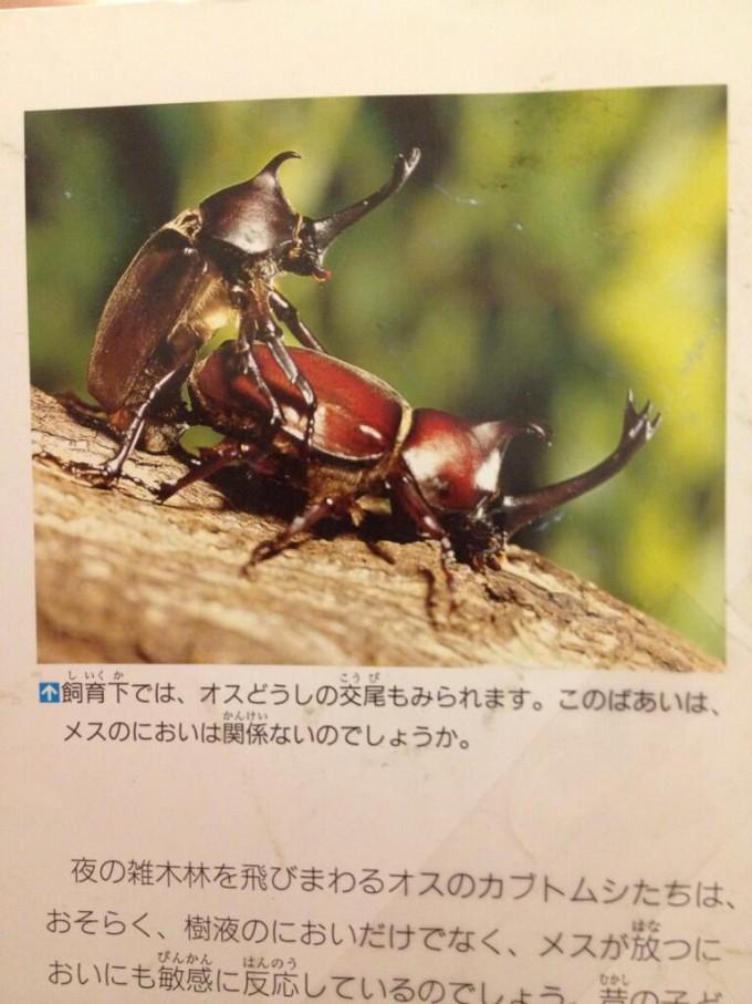 【面白画像】知ってました? カブトムシはオス同士でも交尾することがあります(笑)hhh_0018