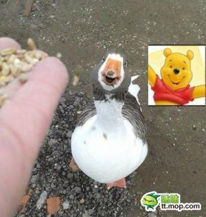 面白画像 「くまのプーさん」にそっくりなアヒルがかわいい(笑)animal_0021