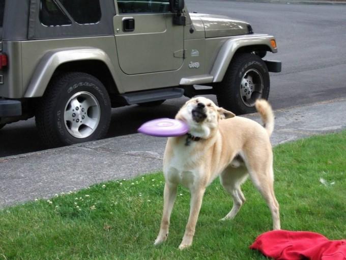 【犬おもしろ画像】フリスビーをキャッチしようとした犬、失敗して顔面にフリスビー(笑)