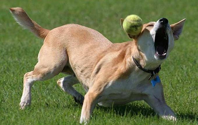 面白画像 犬がテニスボールをキャッチしようと大きな口を開けていたら(笑)animal_0025
