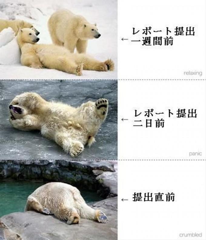 面白画像 学生あるある! シロクマで学生のレポート提出を表現した画像がおもしろい(笑)animal_0027