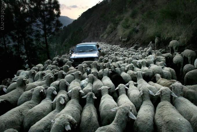 面白画像 弱々しいヒツジでも、群れになったら車も足止めします(笑)animal_0029