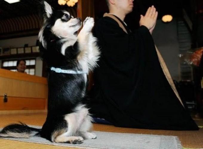 【犬おもしろ画像】和尚と一緒に手を合わせるイヌ(笑)animal_0032