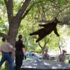 落下! アメリカの大学で木から降りられなくなった子グマ落下の瞬間(笑)