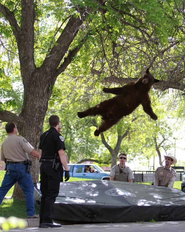 【熊捕獲おもしろ画像】落下! アメリカの大学で木から降りられなくなった子グマ(笑)