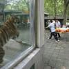 おい!だいじょうぶか! 動物園でトラの着ぐるみが担架で搬送される様子を心配する虎(笑)