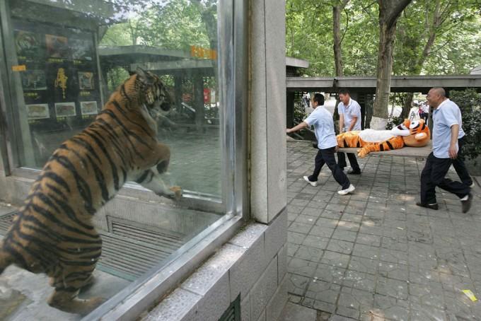 面白画像 動物園でトラの着ぐるみが担架で搬送される様子を心配する虎(笑)chara_0031