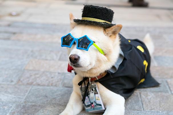 ハロウィン面白画像 見えない! 「犬だって仮装したい!」ということで川崎ハロウィン2015で仮装(笑)helloween_0033