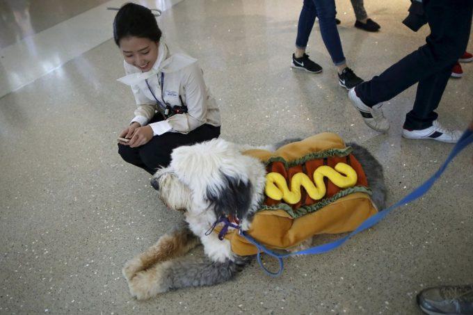 【ハロウィンの犬おもしろ仮装】ハロウィンのロサンゼルス国際空港で見かけた「ホットドッグ」(笑)helloween_0066_01