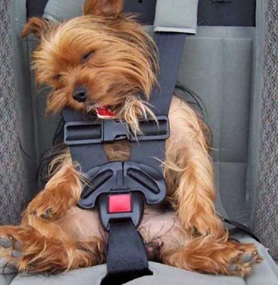 面白画像 車の中でシートベルトをしながら寝るヨークシャー・テリアがかわいすぎます(笑)animal_0041