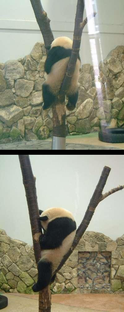 面白画像 「こんな体勢でよく寝れるなぁ。」と感心の、木の間で寝るジャイアントパンダ(笑)animal_0043