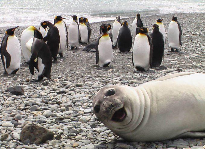 面白画像 おまえじゃない! ペンギンを撮影しようしたら、近くいたアザラシがカメラ目線(笑)animal_0045