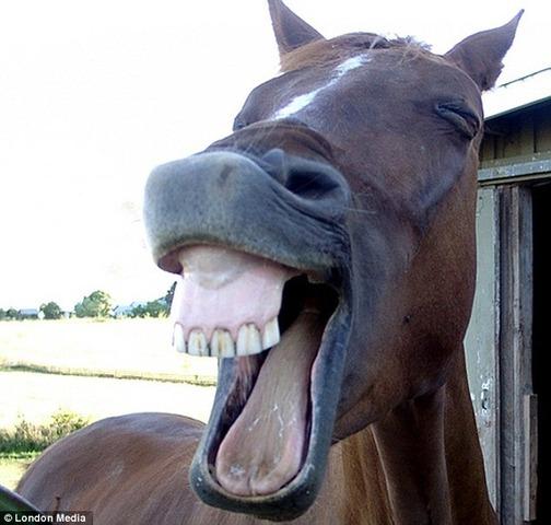 面白画像 カメラを向けたら歯をむき出しにしてむっちゃ笑顔を作ってくれた馬(笑)animal_0046