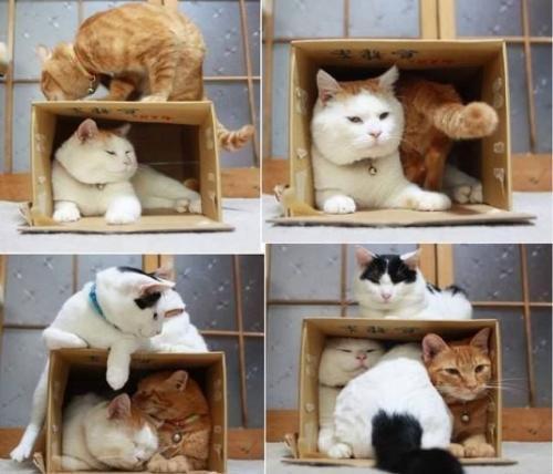 狭いニャ! 段ボールを占領していたら他の猫たちも入ってきてぎゅうぎゅうに(笑)
