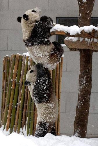 面白画像 木から落ちそうなパンダを必死に助けようとする姿に感動(笑)animal_0055