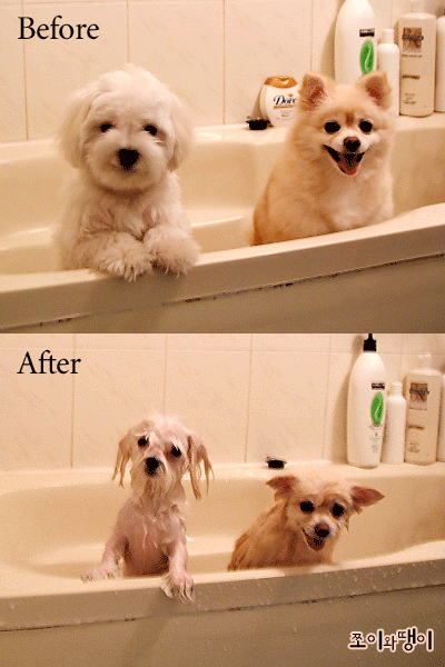 【犬おもしろ画像】ポメラニアンとマルチーズのお風呂ビフォーアフターがおもしろい(笑)