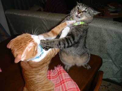 【猫おもしろ画像】やめれば終わるのに、お互いに引こうとしないおもしろい猫バトル(笑)