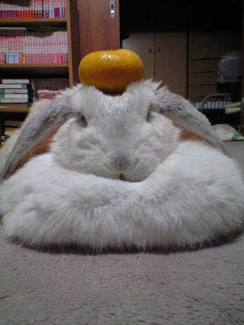 お正月おもしろ画像 鏡餅! ウサギの頭にみかんを乗っけたら、もふもふな鏡餅に(笑)newyear_0004