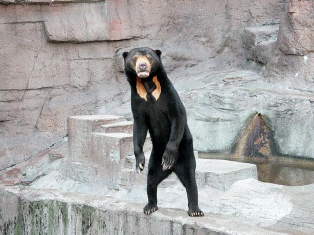 呼んだ? マレーグマの表情がまるで人間みたいです(笑)animal_0061