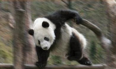 急げ! ネットで有名すぎるパンダ「笹食ってる場合じゃねえ!」(笑)animal_0062