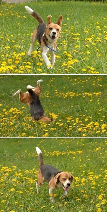 【犬おもしろ画像】お花畑ではしゃぎすぎてコケるお茶目でおもしろいビーグル犬(笑)
