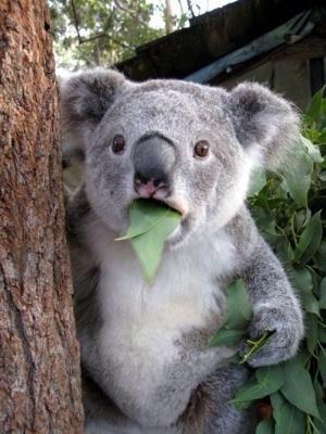 え? 餌のユーカリに夢中なコアラが急に真顔に(笑)animal_0066