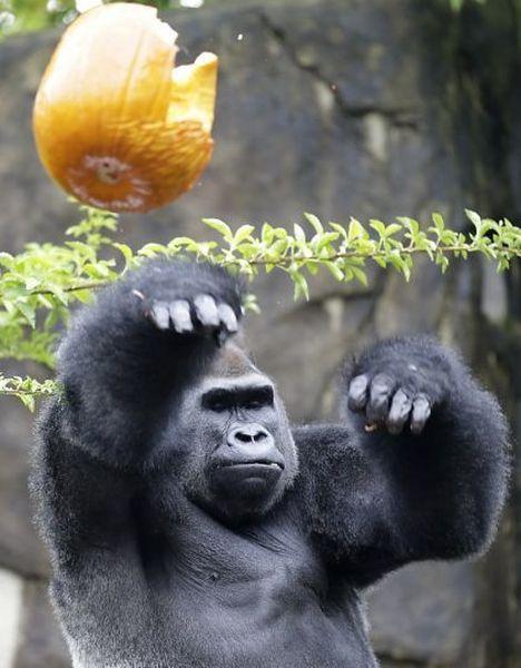 ポイ! バスケのフリースローのように、食べた果物の皮を投げ捨てるゴリラ(笑)animal_0068