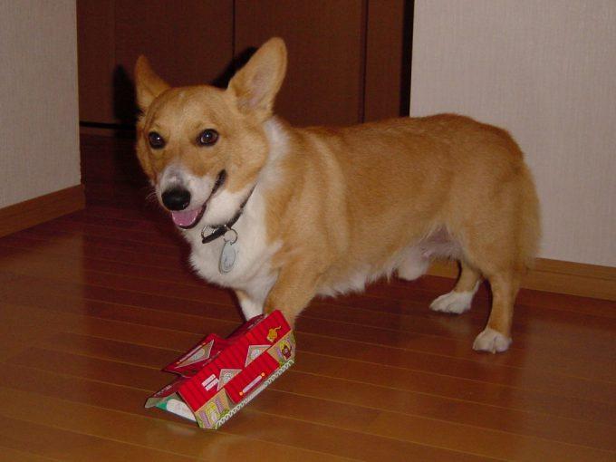 【犬おもしろ画像】ゴキブリホイホイを踏んづけて「あ!」って表情のおもしろいコーギー犬(笑)