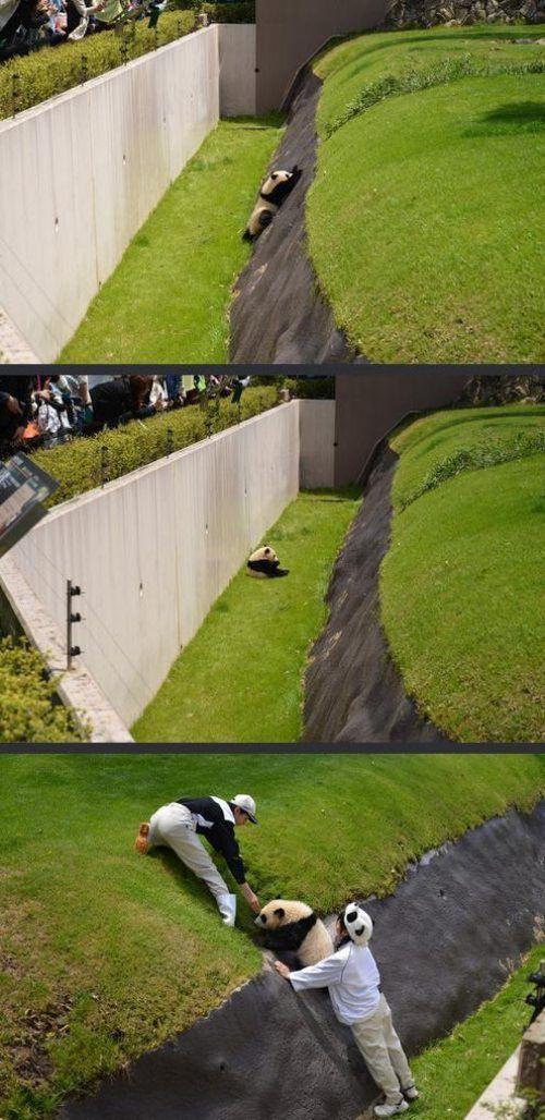 助けて! 動物園の逃げ出し防止用の堀に落ちて、飼育員に助け出されるパンダ(笑)animal_0071