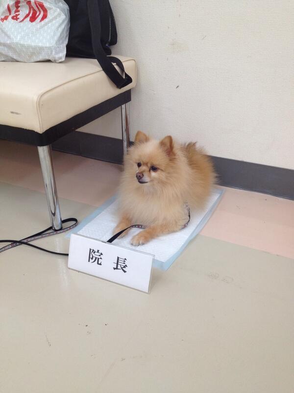 【犬おもしろ画像】今日はどうされました? 院長に就任したポメラニアン(笑)animal_0077