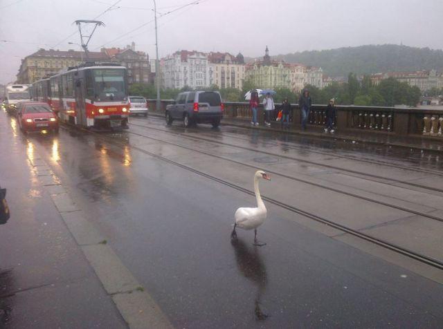 周りのことは気にしない! 道路を悠然と歩くガチョウ(笑)animal_0082