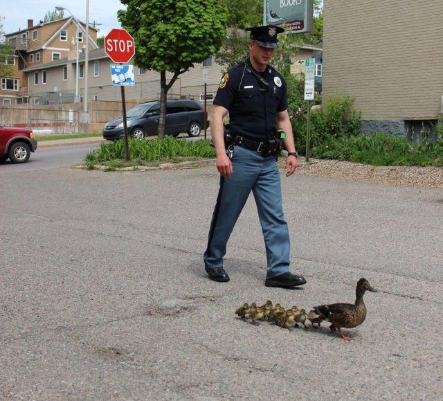 護衛! カモの親子の安全を守る警察官(笑)animal_0083