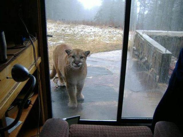 危機! 住んでいる近くにライオンがやってくる(笑)animal_0088