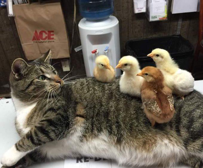 え? 知らない間にひよこたちが背中で暖まっていてびっくりする猫がかわいい(笑)