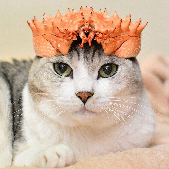 ネコ界の勇者? カニの殻を被った猫が凛々しくて強そう(笑)cat_0007