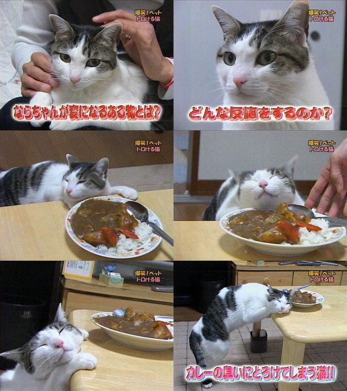 【猫おもしろ画像】カレーの匂いにとろける猫の様子がおもしろい(笑)