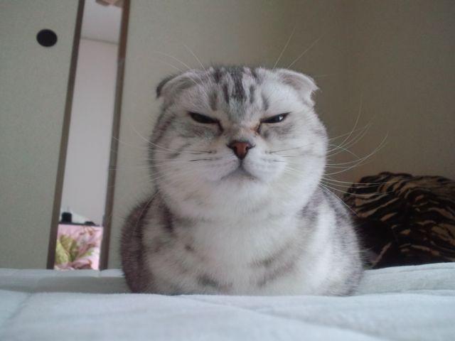 【猫おもしろ画像】初めて香箱座りした時のドヤ顔(笑)