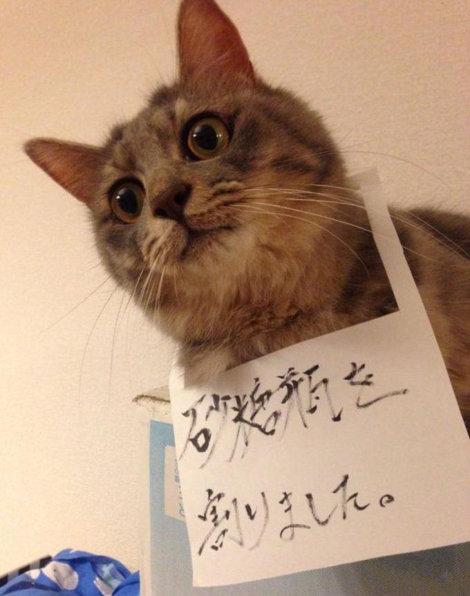 こらっ! 砂糖瓶を割ったのに反省の色が見えないネコに謝罪文の首飾り(笑)cat_0026