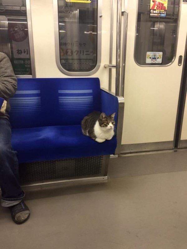 【猫おもしろ画像】電車内でどうやら池袋で遊んだ帰り路のネコが目撃される(笑)cat_0029