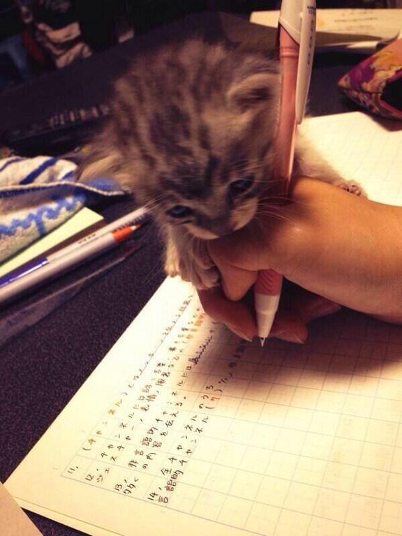 進まない! 勉強中に寄ってくる子猫、邪魔だけど可愛すぎてなにもできない(笑)cat_0037