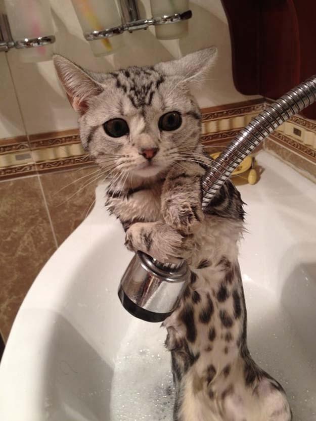 もうやめて! お風呂がイヤすぎて水を避けようとするアメリカンショートヘア(笑)cat_0041